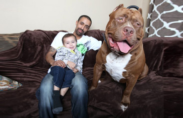 Hulk, le plus grand pitbull du monde !