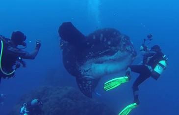 Un plongeur découvre un énorme poisson