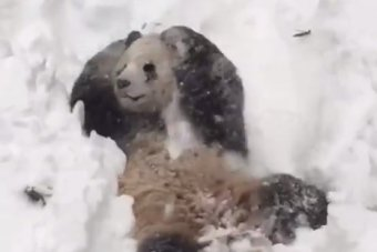 Ce panda s'amuse dans la neige !